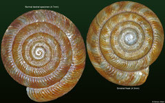 Discus rotundata (normal and sinistral freak) (England)