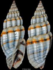 Vexillum praefulguratum (Philippines, 13,9mm)