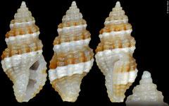 Hemilienardia calcicincta (Philippines, 6,2mm)