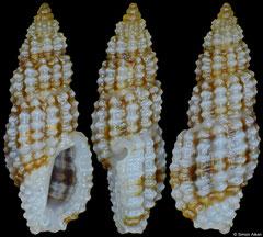 Kermia sagenaria (Philippines, 5,1mm)