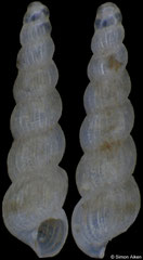 Graphis sp. (Pacific Mexico, 1,68mm)