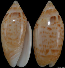 Felicioliva kaleontina (Pacific Panama, 23,5mm)