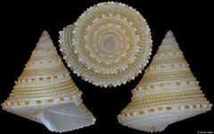 Calliostoma xylocinnamomum (Philippines, 10,5mm)