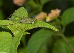 Katydid (Phaneropterinae sp.), Mantadia, Madagascar