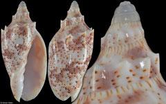 Cymbiola pulchra form peristicta (Queensland, Australia, 61,8mm)