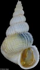 Epitonium crispatum (Philippines, 7,4mm)
