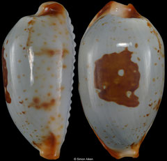Cypraea stolida form 'diauges' (Madagascar, 25,4mm) F+++ €19.00 (specimens for sale are 25-26mm and are of the same quality as the specimen illustrated)