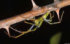 Malagasy green lynx spider (Peucetia madagascariensis), Ifaty-Mangily, Madagascar