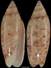 Oliva semmelinki (Philippines, 25,4mm)