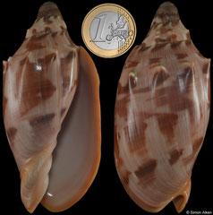 Cymbiola aulica (Philippines, 91,2mm dwarf)
