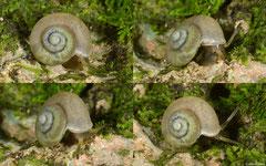 Leiabbottella galaxius (Cabrera, Dominican Republic)