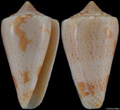 Conus caracanus (Venezuela, 38,6mm)