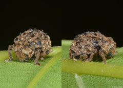 Skin beetle (Dermestidae sp.), Bokor Mountain, Cambodia