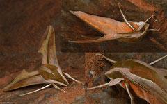 Hawk moth (Theretra suffusa), Kampong Trach, Cambodia