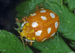 Orange ladybird (Halyzia sedecimguttata), North Wales, UK