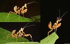 Flower mantis (Creobrotra sp.) nymph, Angkor Chey, Cambodia