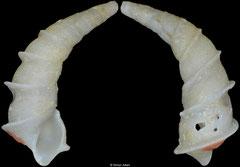 Bacula striolata (Mozambique, 14,7mm) Gd €24.00