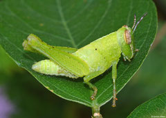Grasshopper (Acridomorpha sp.) nymph, Veracruz, Panama