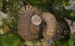 Abbottella domingoensis (El Naranjo, Boca del Infierno, Dominican Republic)