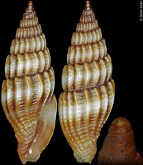 Vexillum gouldi (Philippines, 9,6mm)