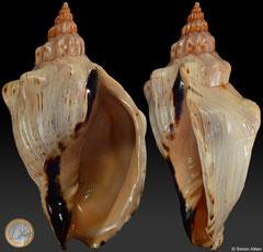 Callipara casaana (Somalia, 202,7mm)