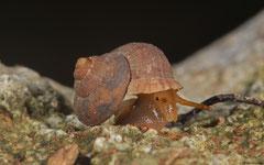 Arenabbottella sosuaensis (Loma Catalina, Dominican Republic)