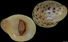 Neripteron siquijorense (Vietnam, 10,0mm)