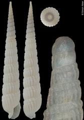 Terebra subtextilis (Philippines, 44,5mm) F+ €21.00
