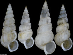 Epitonium chinglinae (China, 11,1mm, 9,9mm, 11,9mm, 10,8mm)