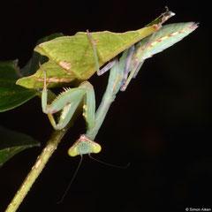 Praying mantis (Hierodula sp.), Krong Kaeb, Cambodia