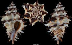 Favartia vittata (Pacific Panama, 28,8mm)