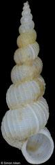 Amaea setonaikaiensis (Philippines, 12,8mm)