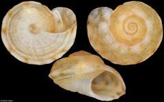 Peasiella infracostata (Mozambique, 2,3mm)