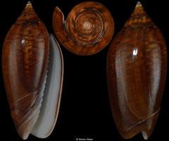 Oliva spicata colour form 'fuscata' (Pacific Panama, 43,4mm)