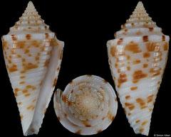 Conus gattegnoi (Philippines, 20,9mm)