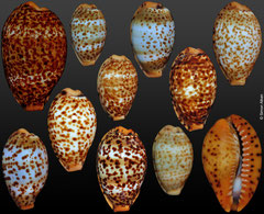 Cypraea humphreysi (Solomons Islands, 12,6-22,3mm)
