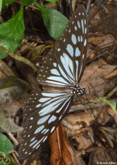 Brush-footed butterfly (Tirumala ishmoides), Pacijan Island, Philippines