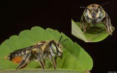 Leaf-cutter bee (Megachilidae sp.), Balut Island, Philippines