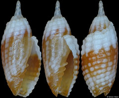 Condylomitra tuberosa  (Philippines, 6,7mm)