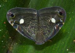 Planthopper (Ricaniidae sp.), Mantadia, Madagascar