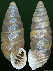Abida polyodon (Spain, 8,9mm, 9,9mm) F+++ €4.50 (specimens for sale are 8-9mm and are of the same quality as the specimens illustrated)