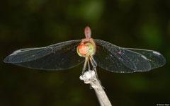 Wandering percher (Diplacodes bipunctata) male, Broome, Western Australia