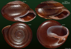Pleurodonte guadeloupensis (Guadeloupe) F+++ €9.00 for 19-20mm; high-altitude form (upper-right) 19.8mm Gd €5.00