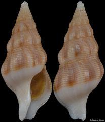 Latirus filmerae (South Africa, 30,2mm)