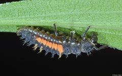 Harlequin ladybeetle (Harmonia axyridis) larva, York, UK