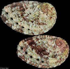 Haliotis rugosa rodriguensis (Rodrigues Island, 36mm, 34mm)
