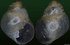 Elasmias apertum (Gambier Islands, 2,6mm)