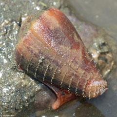 Conus purpurascens (Gobernadora Island, Pacific Panama)