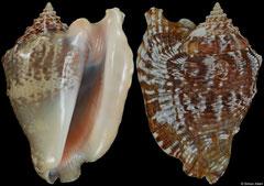 Lobatus raninus (Florida, USA, 80,2mm)