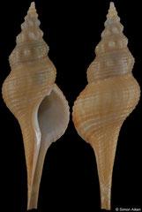 Afer pseudofusinus (Senegal, 59,9mm)